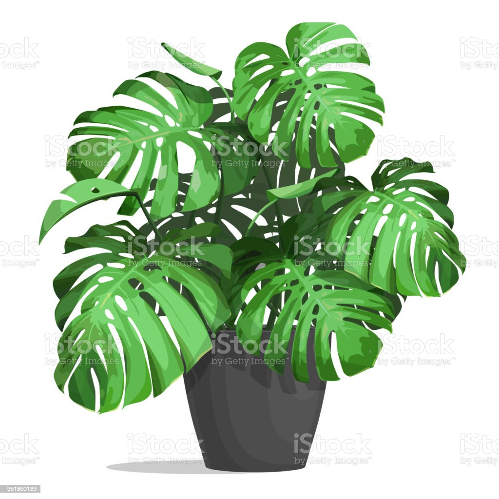 monstera in a pot royalty-free monstera in a pot stock illustration - download image now