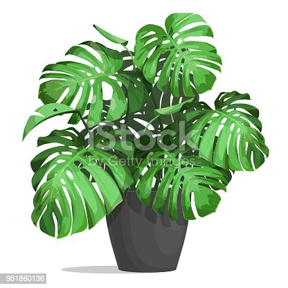 Monstera in a pot. Tropical plant for interior decor of home or office. Vector illustration isolated on white background.