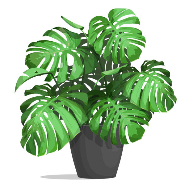 monstera in a pot Monstera in a pot. Tropical plant for interior decor of home or office. Vector illustration isolated on white background. potted plant stock illustrations