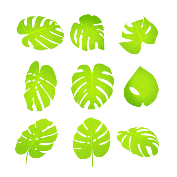 Monstera Leafs - Collection vector art illustration