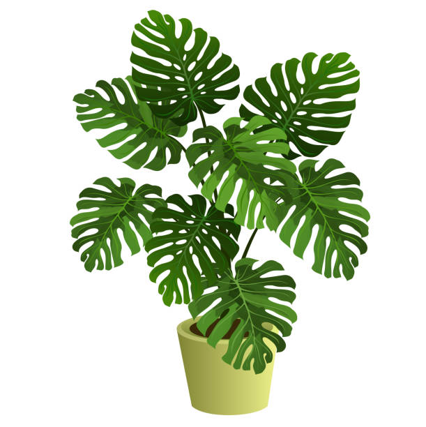 Monstera plant in pot, realistic vector illustration. Monstera plant in pot. Hand drawn vector illustration on white background. potted plant stock illustrations