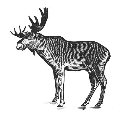 Moose. Forest animal. Vector. Vintage engraving.