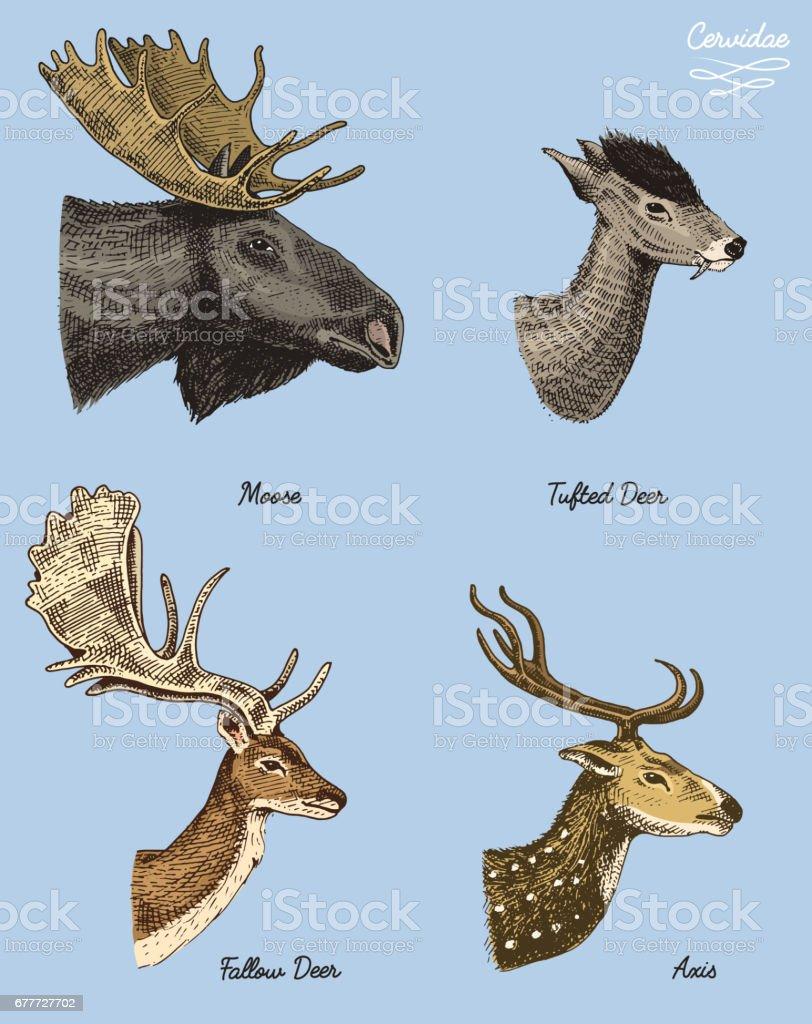 Moose Or Eurasian Elk Tufted Deer Roe Or Doe Axis Vector Hand Drawn ...