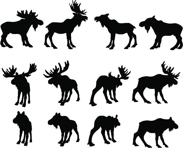 Moose Silhouettes (bull and cow) Different types of moose in silhouette. elk stock illustrations