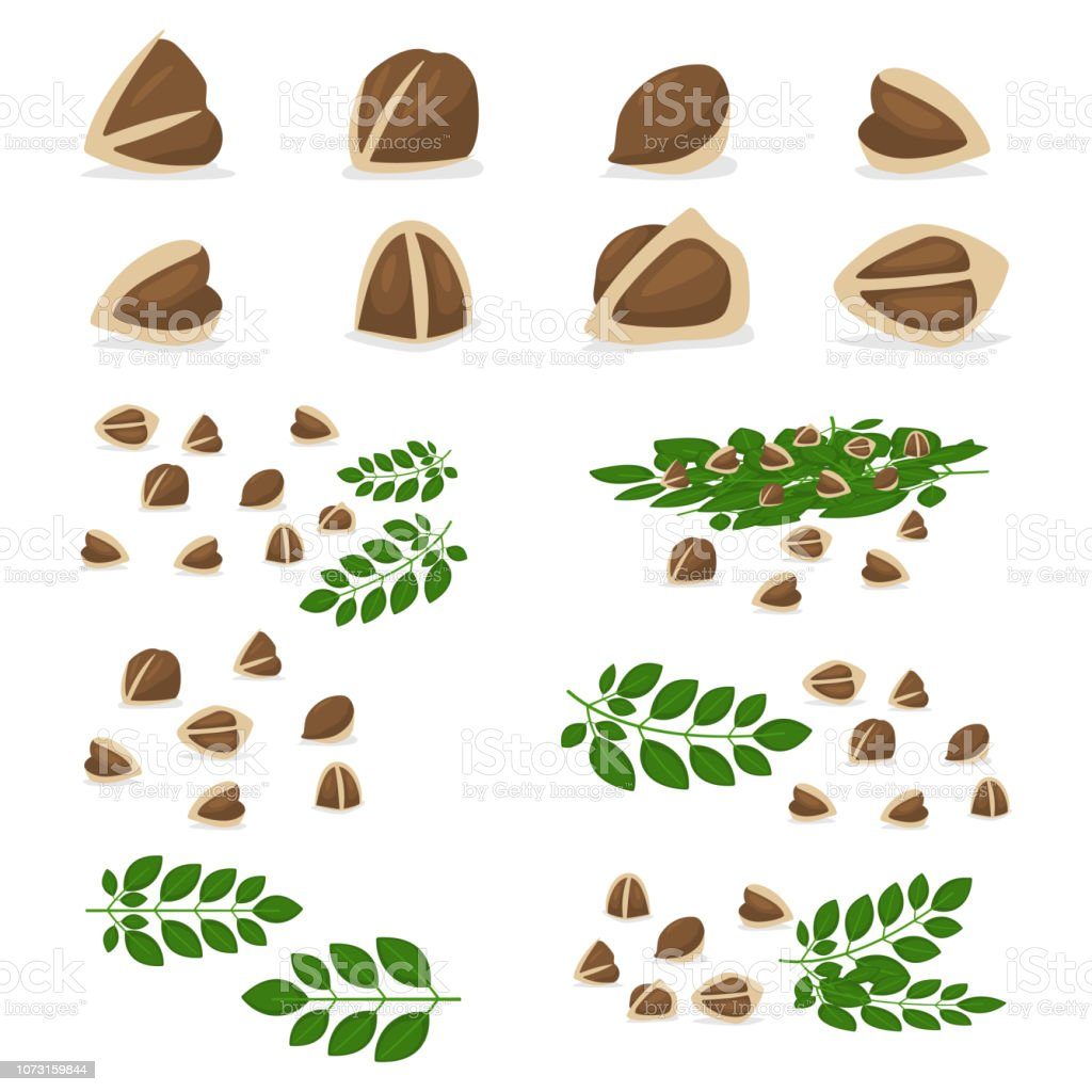 Moringa Oleifera Seeds And Branch With Leaves Set Vector Cartoon  Illustration Of Organic Food Isolated On A White Background Stock  Illustration -