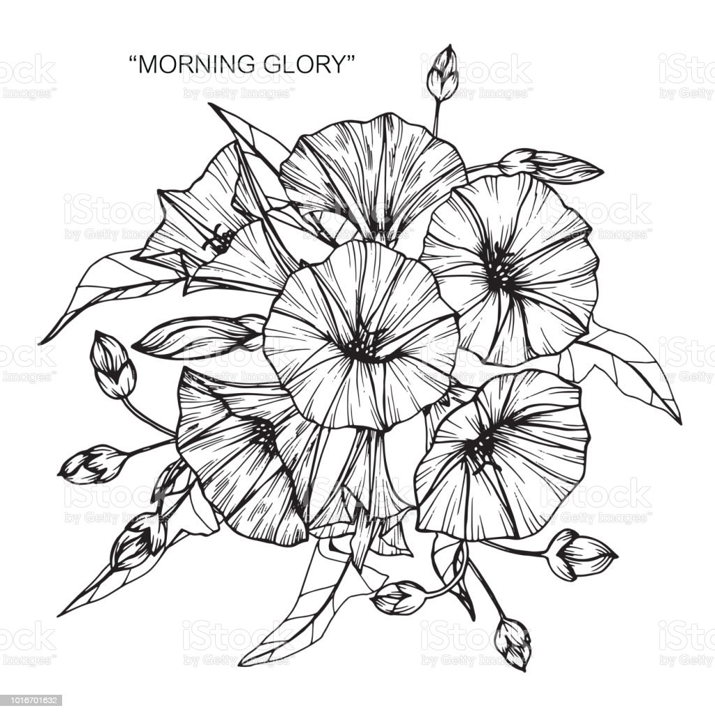 Morning glory flower drawing illustration black and white with line art on white backgrounds illustration