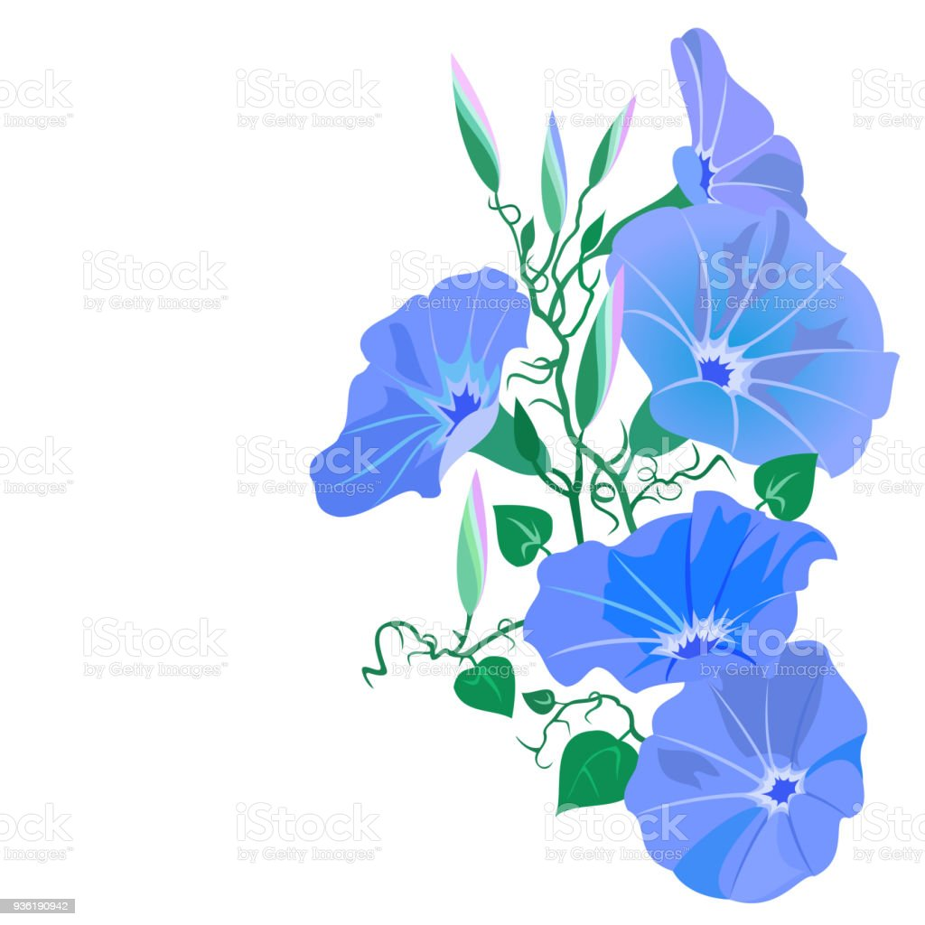 Morning Glory Vine With Flowers Stock Vector Art More Images Of