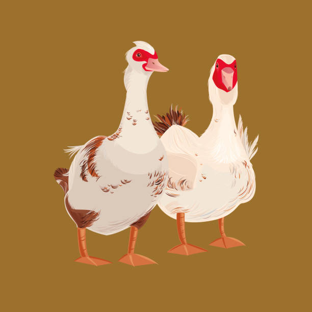 Moscovy Ducks Moscovy Ducks. Vector illustration. snow goose stock illustrations