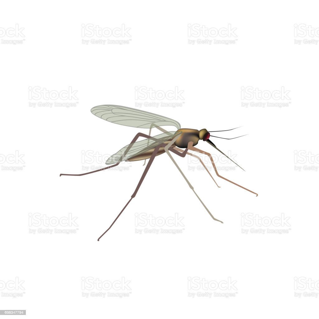 Mosquito Isolated Gnat Illustration Insect Macro View Stock Vector