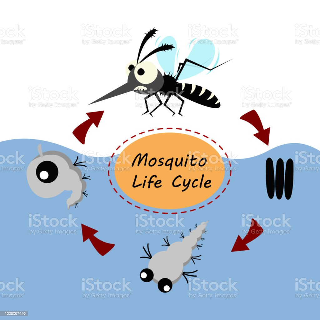 mosquito life cycle concept. vector illustration. vector art illustration