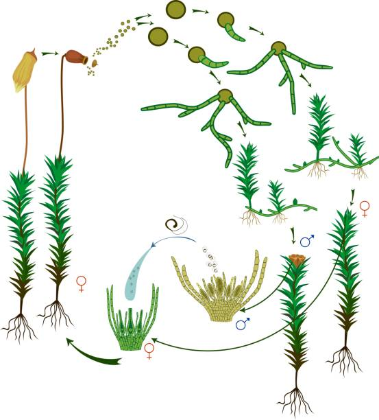 Moss life cycle. Diagram of a life cycle of a Common haircap moss (Polytrichum commune) Moss life cycle. Diagram of a life cycle of a Common haircap moss (Polytrichum commune) moss stock illustrations