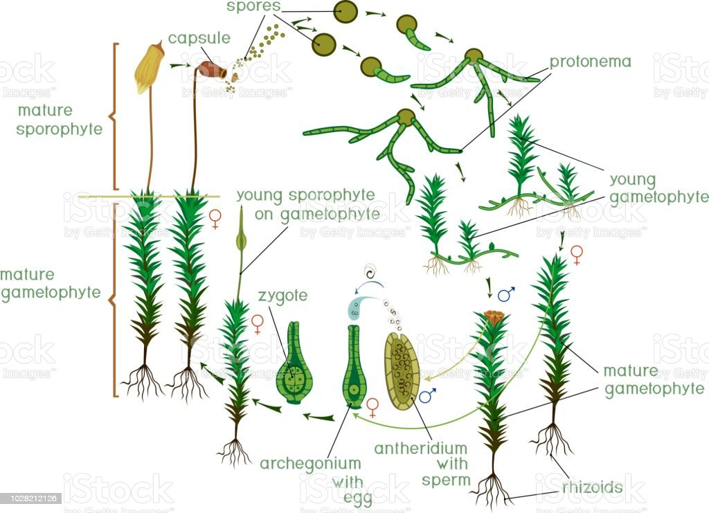 Moss Life Cycle Diagram Of Life Cycle Of Common Haircap Moss With