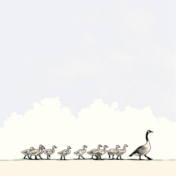 Mother Goose and Family Engraving style illustration of baby geese following mother goose in single file. Zoom in and view the subtle engraving texture in sky. canada goose stock illustrations