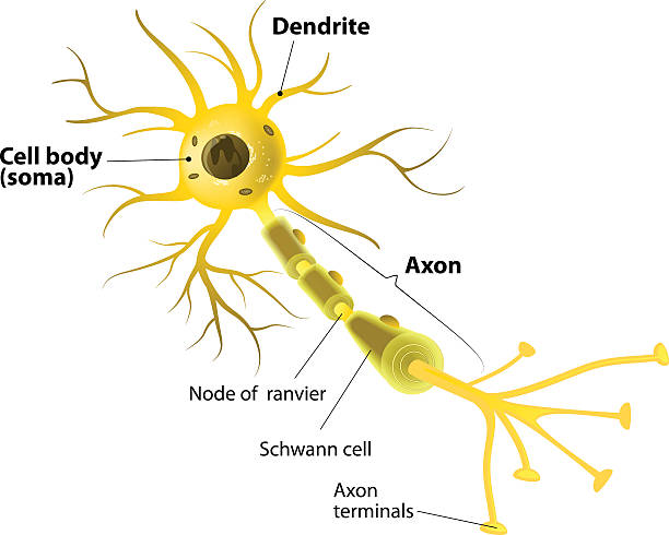 Motor neuron, detailed and accurate, labeled Neuron and Synapse Labeled Diagram neural axon stock illustrations