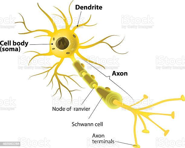 Motor Neuron Detailed And Accurate Labeled Stock Illustration - Download Image Now