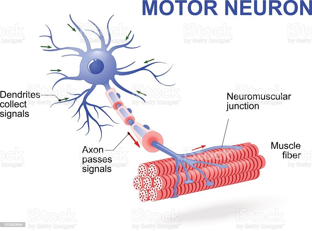 Annotated diagram of a motor neuron auto electrical wiring diagram annotated diagram of a motor neuron images gallery ccuart Gallery