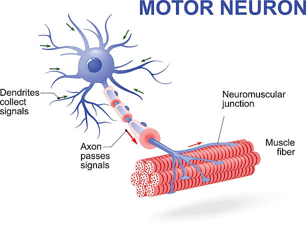Motor neuron. Vector diagram structure of motor neuron. Vector diagram. Include dendrites, cell body with nucleus, axon, myelin sheath, nodes of Ranvier and motor end plates. The impulses are transmitted through the motor neuron in one direction nerve fiber stock illustrations