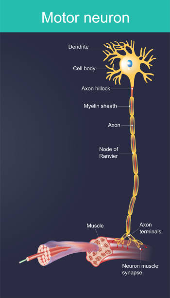 Motor neuron Motor neurone is a cell body is located in the brain, or the spinal cord. Duty directly or indirectly control organ, mainly for muscles and gland. motor neuron stock illustrations