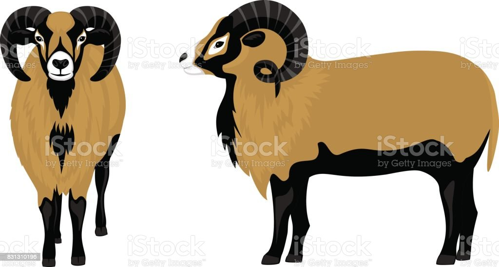 Mouflon sheep vector illustration , side and front view vector art illustration