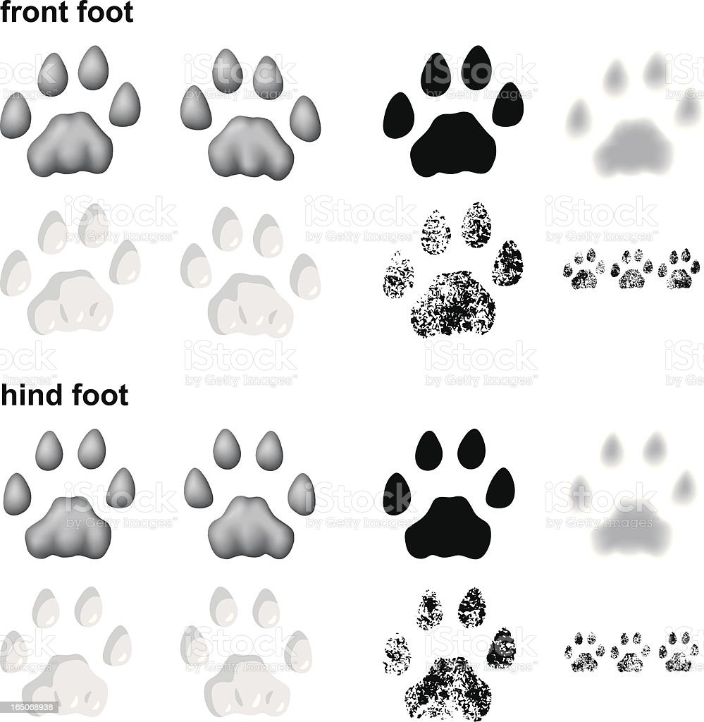 Mountain lion footprints