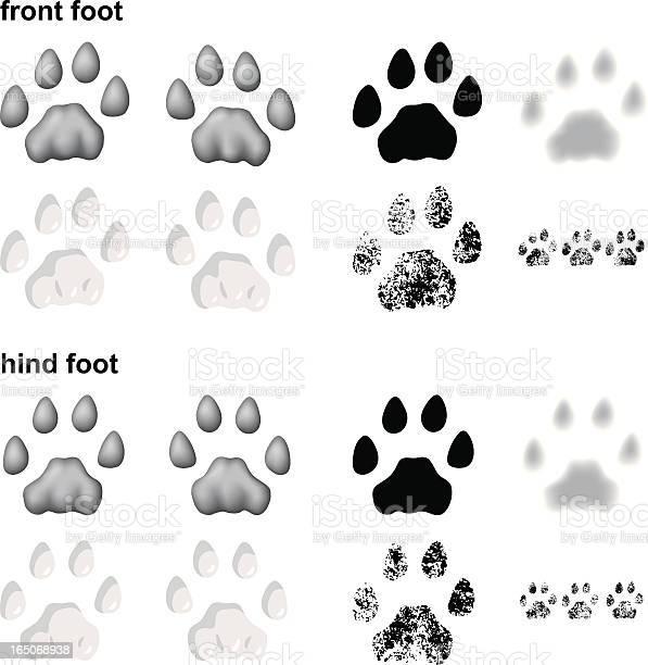 Mountain lion footprints vector id165068938?b=1&k=6&m=165068938&s=612x612&h=jnycyomv9t26xfg4mlosljt rzkrdepsh jy6bpmi9e=