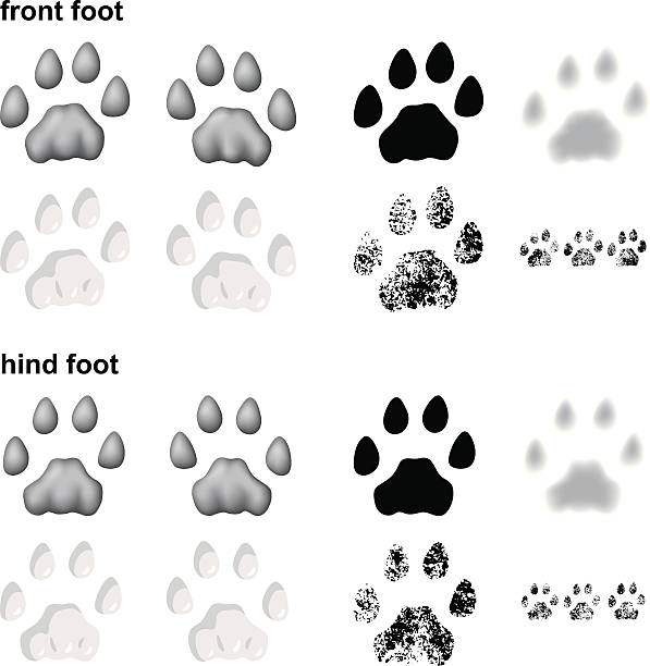 Mountain lion footprints Footprints of mountain lion in 5 different styles:  bobcat stock illustrations