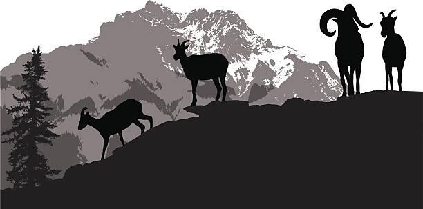mountainsheep - bergziegen stock-grafiken, -clipart, -cartoons und -symbole