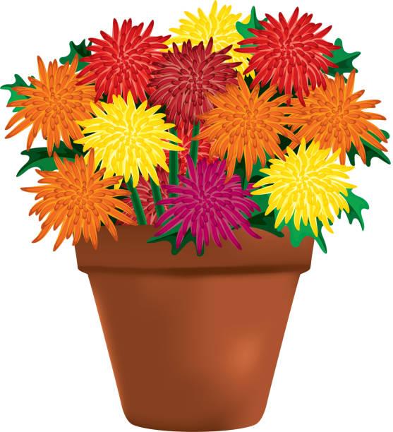 Best Garden Mum Illustrations, Royalty-Free Vector ...