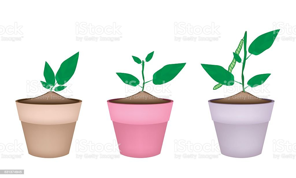mung bean plants in ceramic flower pots royaltyfree stock vector art