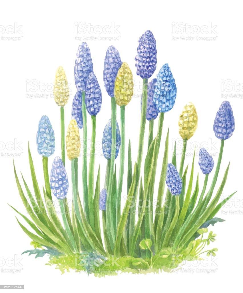 水彩画とムスカリはベクトル青い春の花のイラストです いっぱいになる