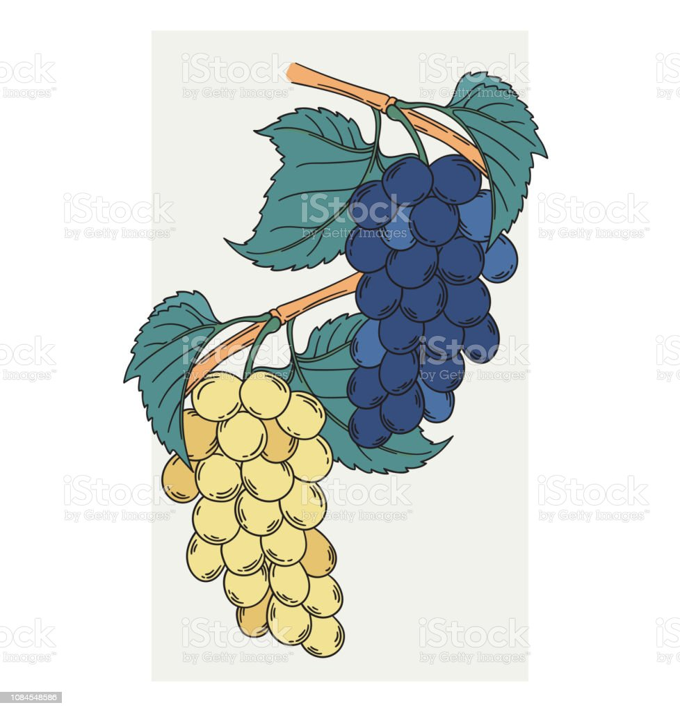 Muscat noir and blanc two grapevines vector illustration in vintage...