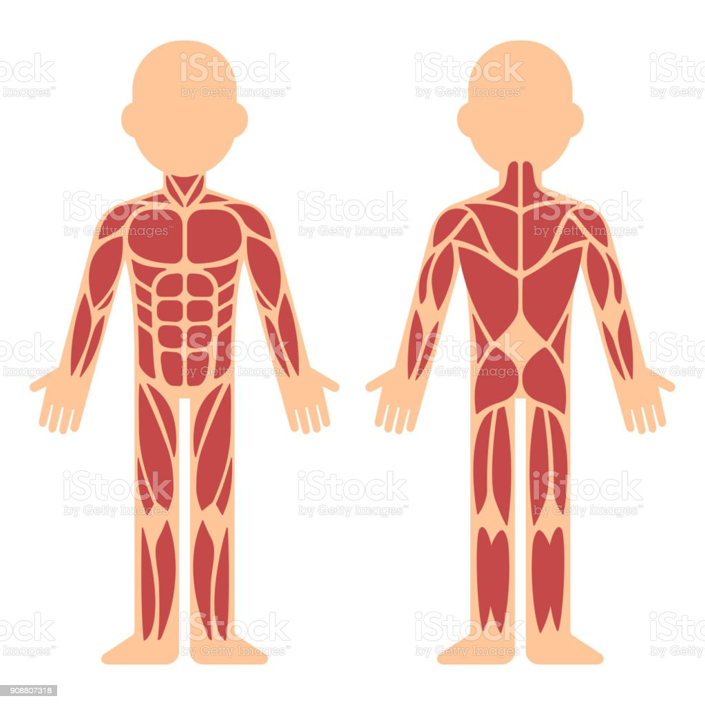 Muscle Anatomy Chart Stock Vector Art More Images Of Abdominal