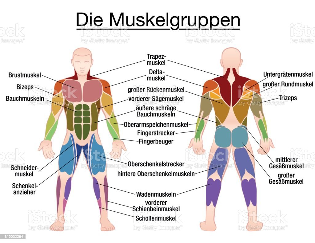 Muscle Chart German Labeling Most Important Muscles Of The Human