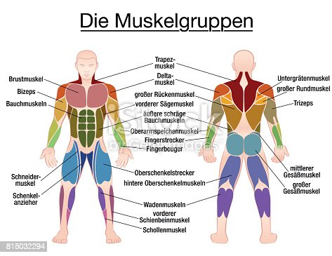 Muscle Chart German Labeling Most Important Muscles Of The Human Body Colored Front And Back ...