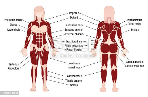 Labquizstudypracticeposteriorbodymuscles Phpapp Thumbnail together with Muscle Chart With Accurate Description Of The Most Important Muscles Vector Id S A further The Nervous System Chart furthermore Body Anatomy Chart Organs Human Anatomy Diagram X further Maxresdefault. on female human body parts diagram