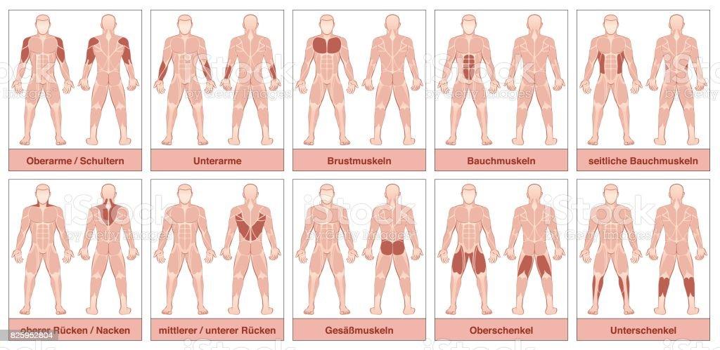 Ilustración de Tabla De Músculos Con Nombres Alemanes Cuerpo ...