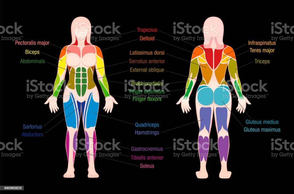 Muscle Chart With Most Important Muscles Of The Female Body Colored