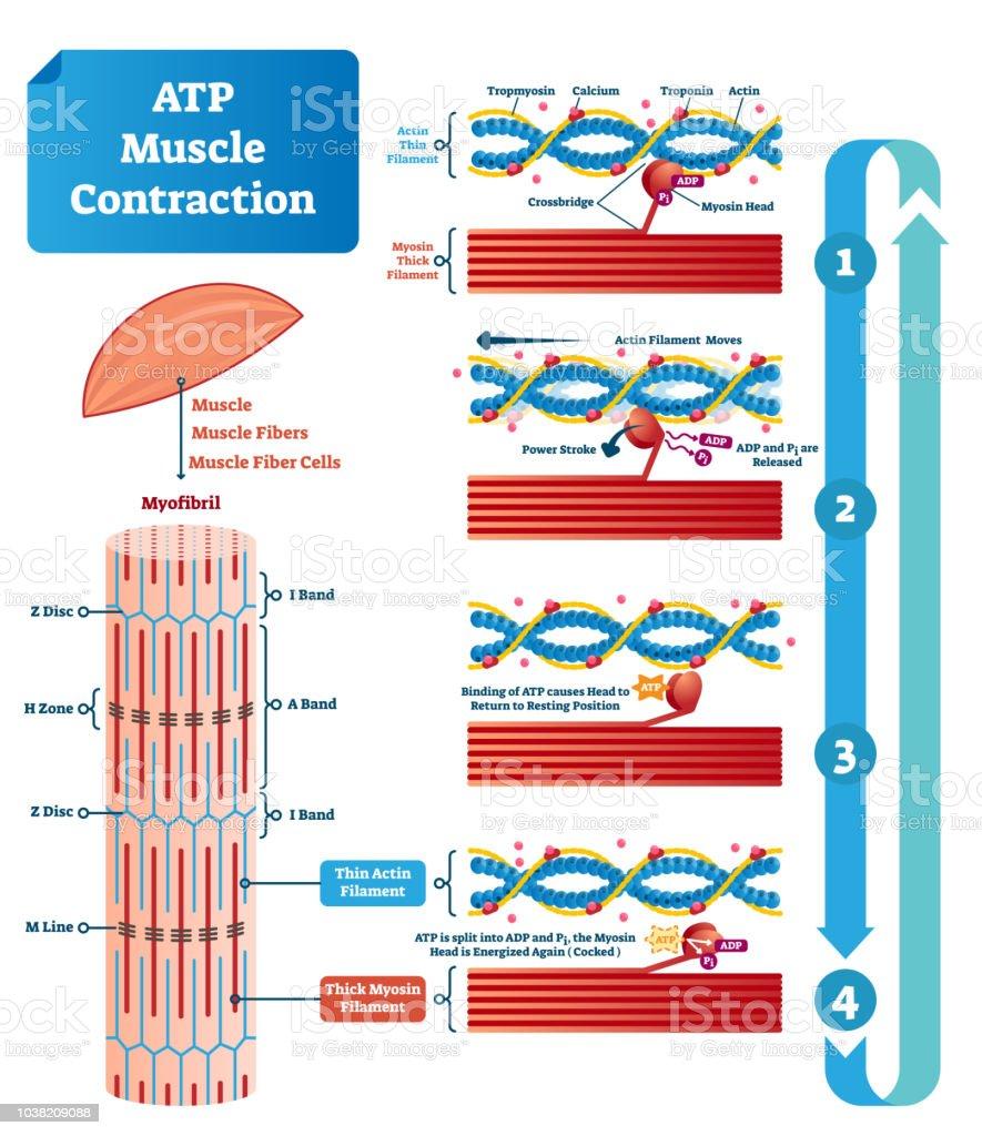 Ilustración de Ilustración De Vector De Atp Muscular Contracción ...