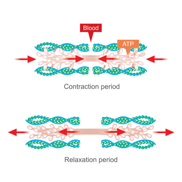 Muscle contraction. vector art illustration