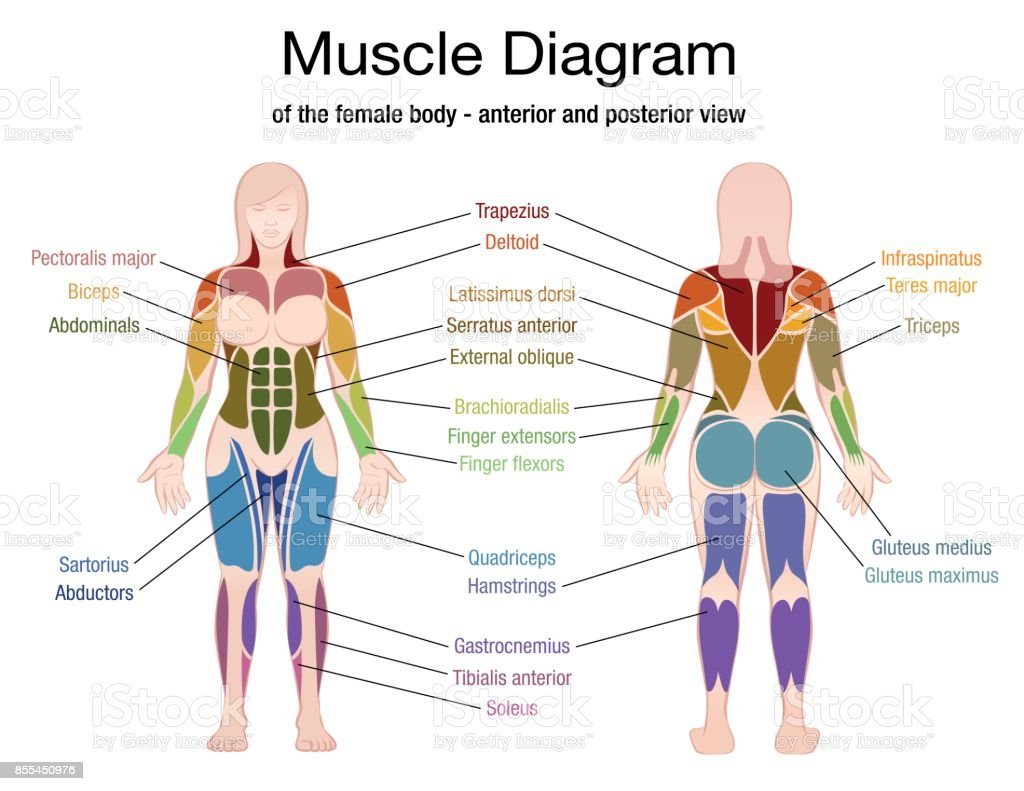 Muscle Diagram Of The Female Body With Accurate Description Of The Most Important Muscles Front