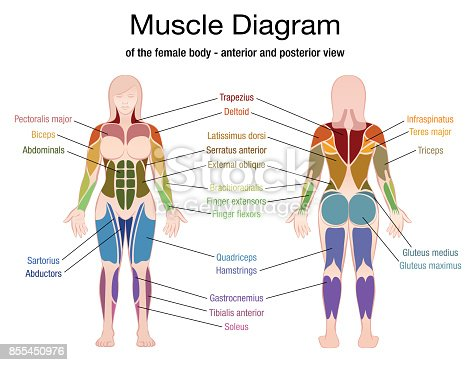 diagram of a woman muscle diagram of the female body with accurate ...