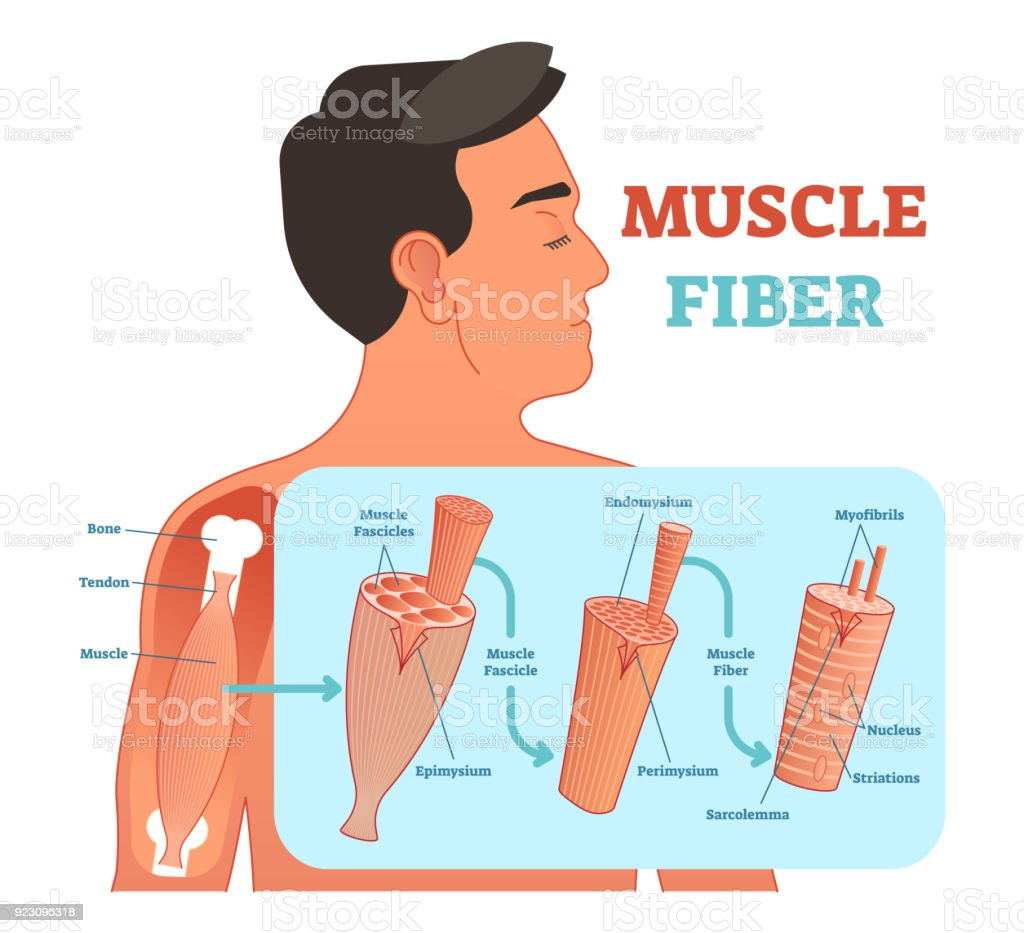 Ilustración de Ilustración De Vector Anatómica Fibra Muscular ...
