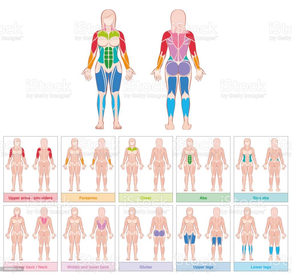 Muskelgruppen Des Weiblichen Körpers Isoliert Diagramm Mit Den ...