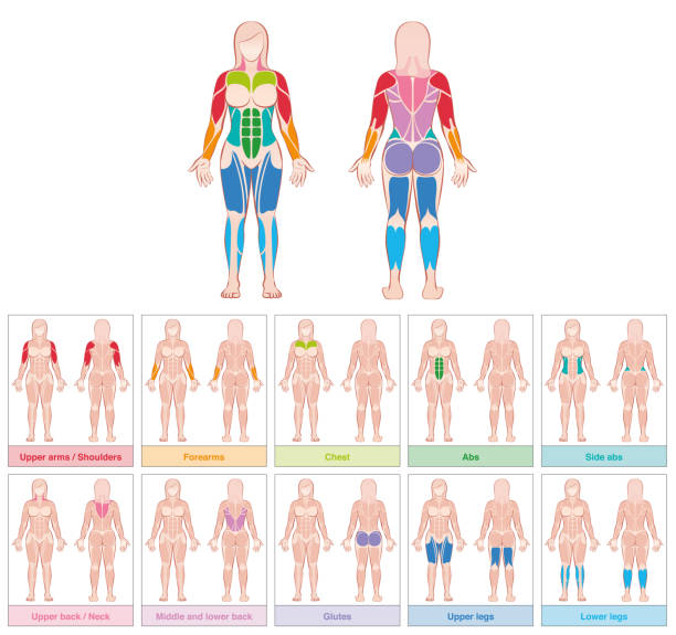 Muscle groups of a female body - chart with largest muscles - ten colored labeled cards - isolated vector illustration on white background. vector art illustration