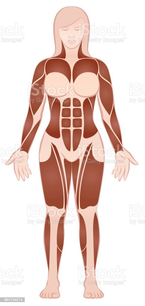Muskelgruppen Des Ein Muskulöser Frauenkörper Mit Pecs Sixpack Abs ...