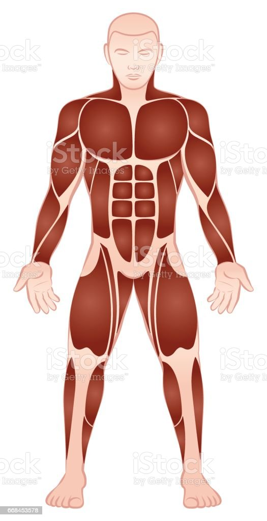 Muscle Groups Of A Muscular Male Bodybuilder With Athletically ...