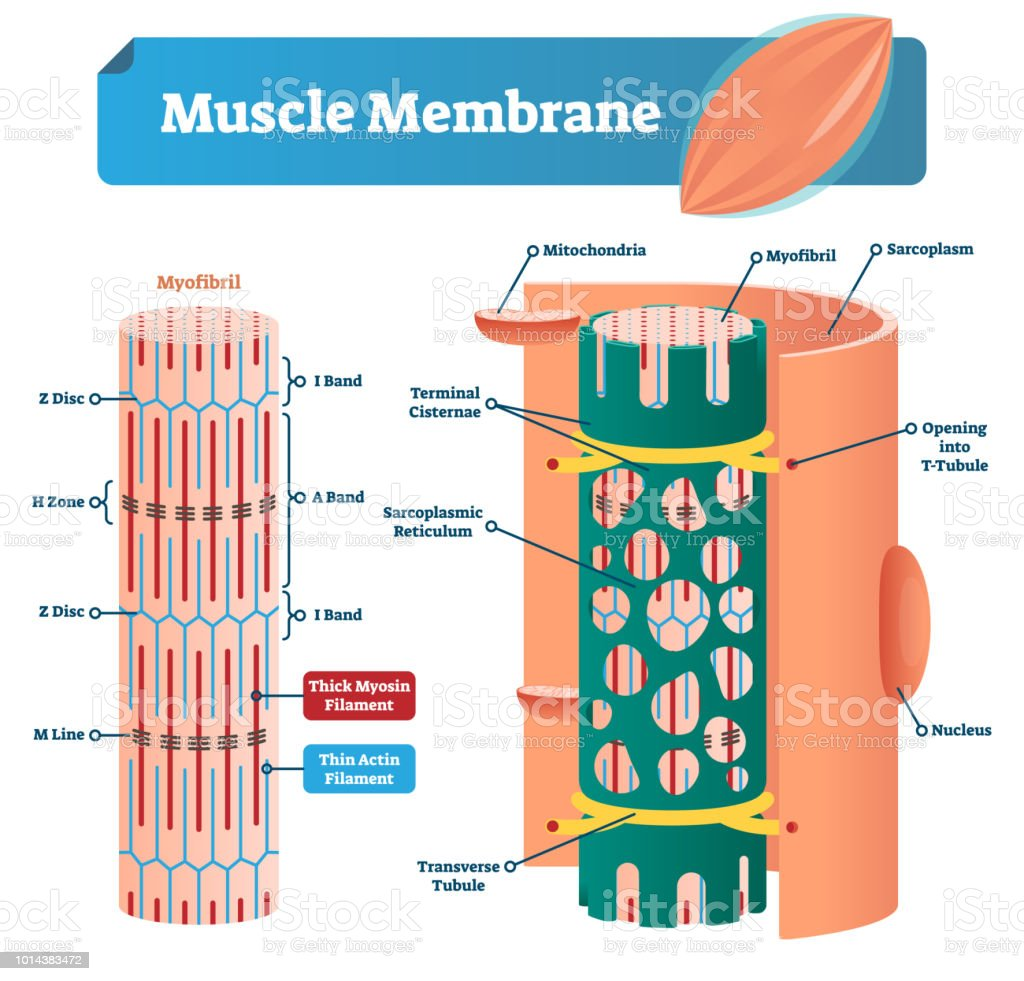 Muscle Membrane Vector Illustration Labeled Scheme With Myofibril ...