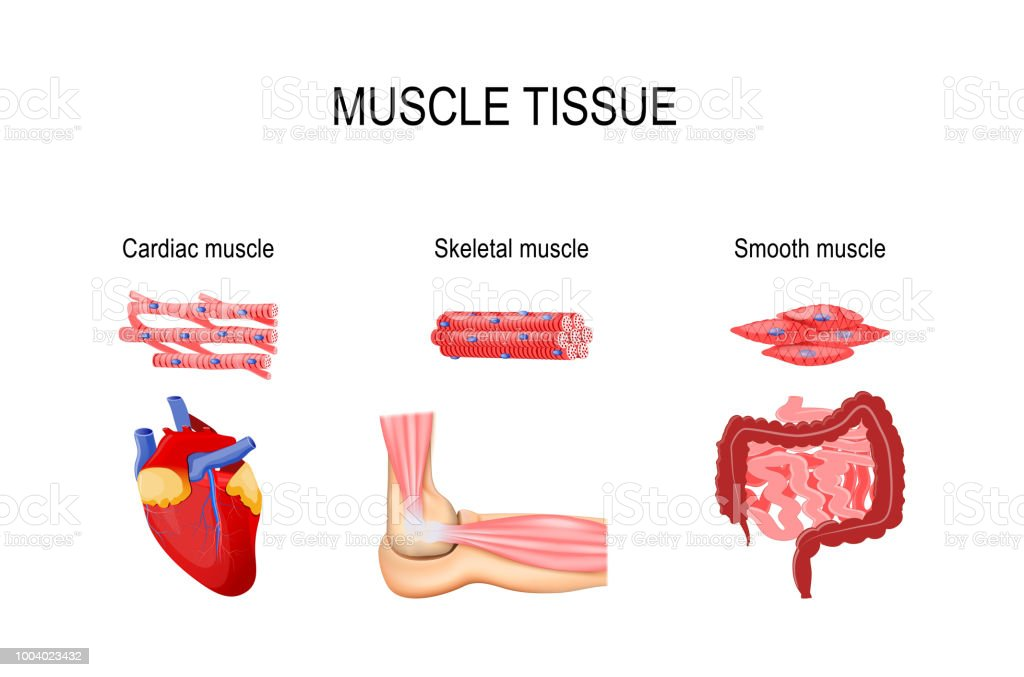 Muscle Tissue Stock Vector Art More Images Of Anatomy 1004023432