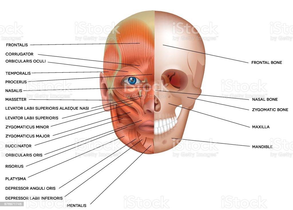Muskeln Und Knochen Des Gesichts Stock Vektor Art und mehr Bilder ...