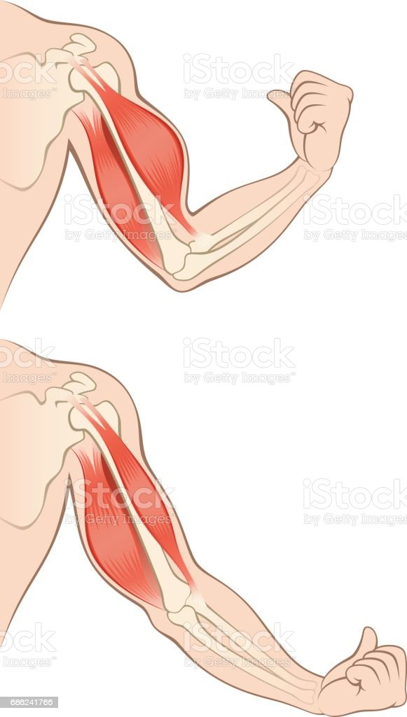 Muscles human hand vector art illustration